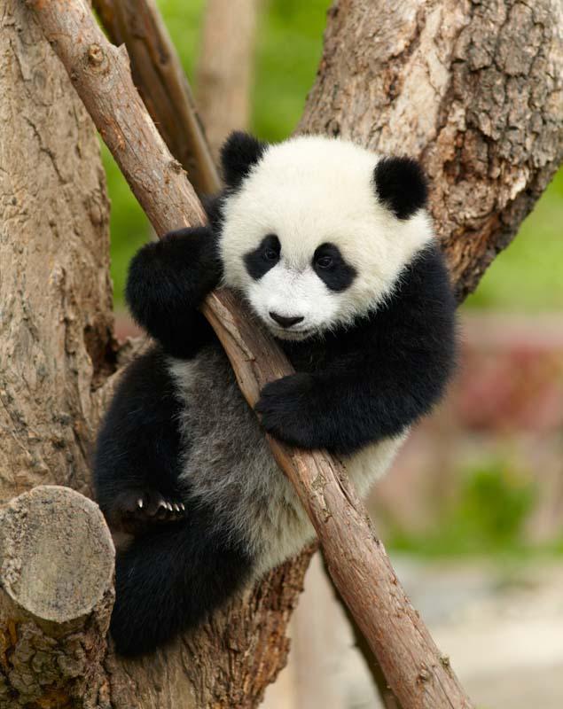 Hug a baby panda China