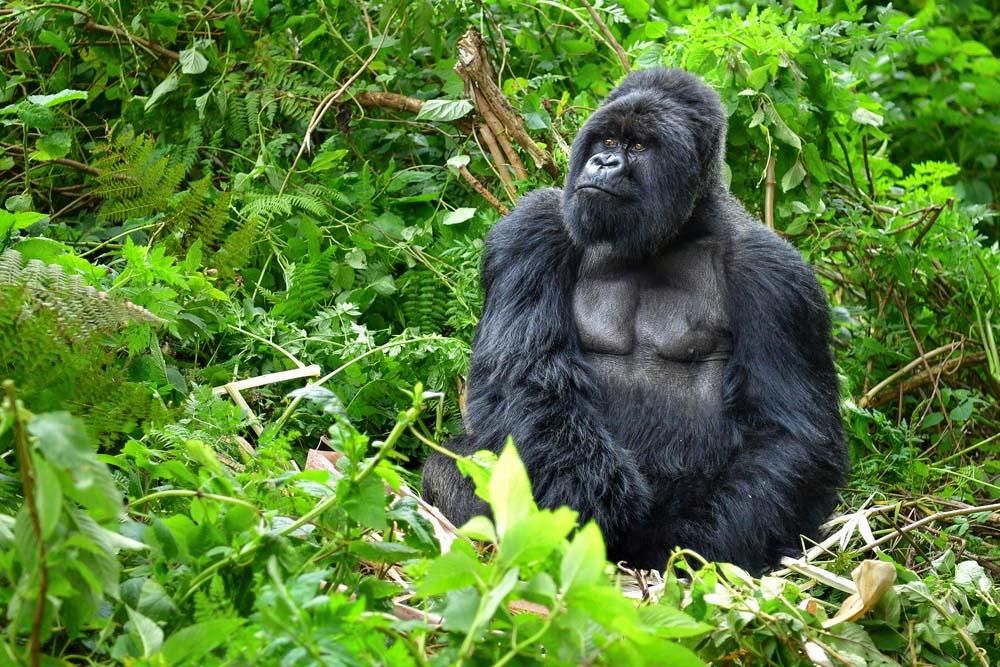 Walk with Gorillas Rwanda