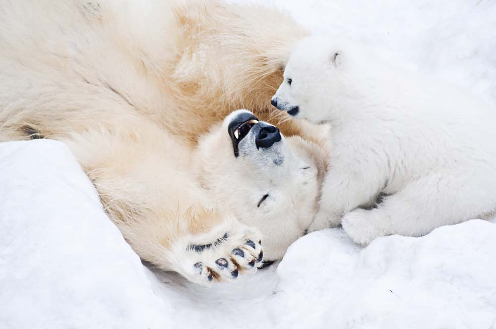 See Polar Bears roam free Greenland