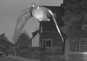 Speeding pigeon clocks 45KPH; is fined US$28