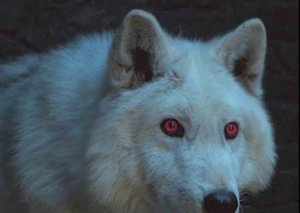We could have seen a direwolf take on a zombie dragon in GoT