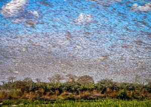 Video: Hordes of locusts block out the skies in Saudi Arabia