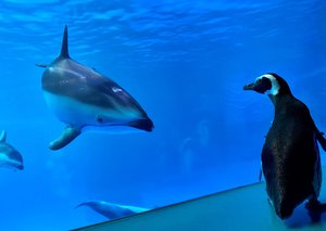 WATCH: Penguins let loose across aquarium as it closes to humans