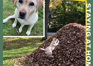 I want to watch this dog jump into piles of leaves over and over