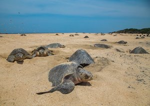 Endangered sea turtles hatch on deserted beaches in Brazil, India amid Covid-19 lockdown