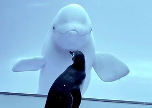 Penguins let loose in a Chicago aquarium closed to humans shocked to meet Beluga whales