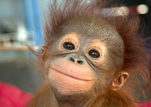 How Indonesia is protecting its orangutans from COVID-19