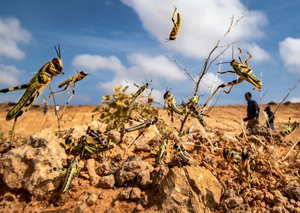 Why are swarms of locusts invading the UAE and neighbouring countries?