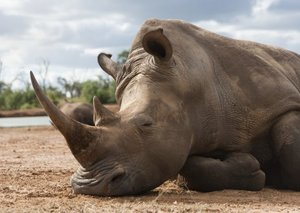 We might have saved the White Rhino from extinction