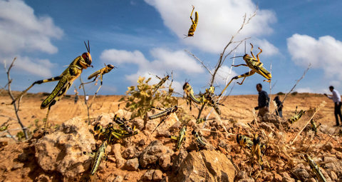 Why are there swarms of locusts invading the UAE and neighbouring countries?