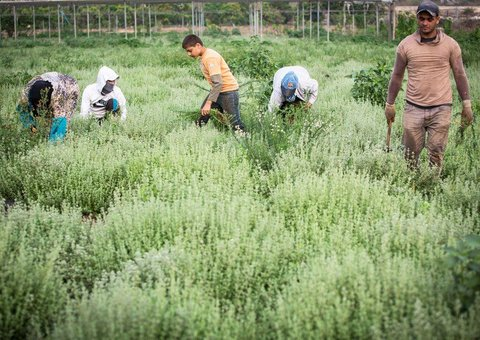 Zataar farming in the occupied West Bank