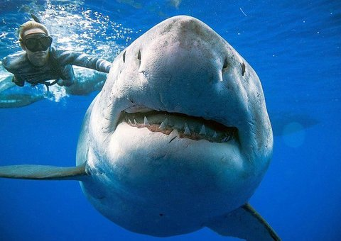 This might be the largest great white shark in the world