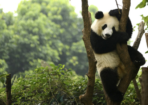 Pandas are finally mating because of Covid-19
