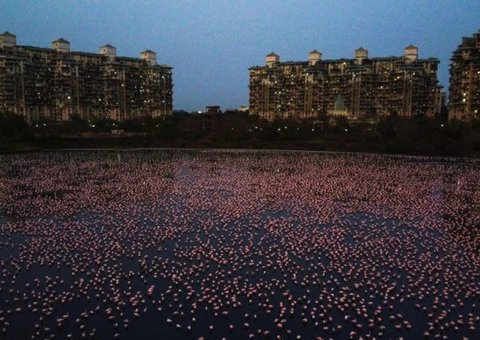 Over 150,000 Flamingos besiege Mumbai after city comes to a standstill amid Covid-19 lockdown