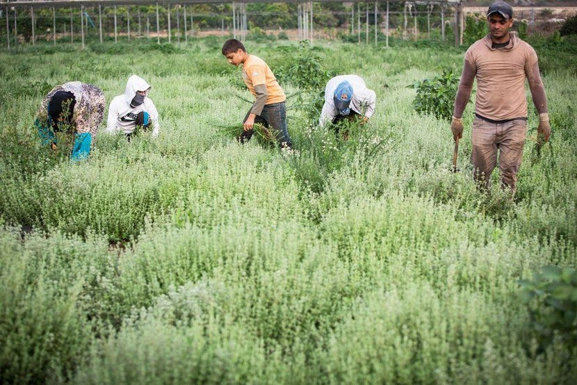 West Bank, Occupied West Bank, Israel, Farming, Zataar, Zataar farming, Farms, Farmers, War zone, Palestine, Middle East, War, Daily life