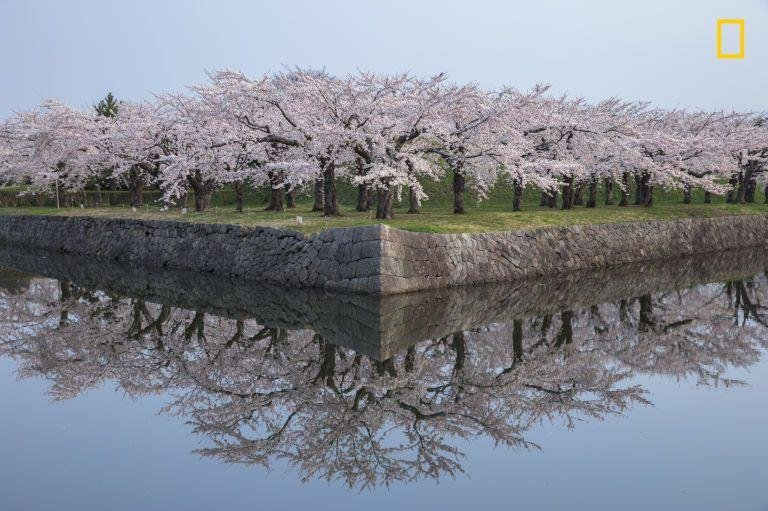 """SYMMETRYRTEMMYS - """"Cherry blossoms reflected in perfect condition."""""""