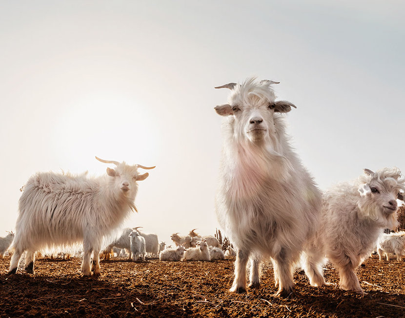Loro Piana, Goats