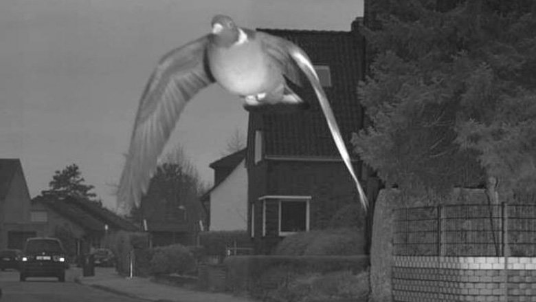 Pigeon, Traffic, Animals