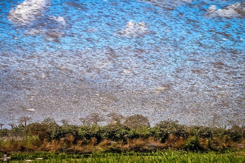 Saudi Arabia, Locusts, Swarms
