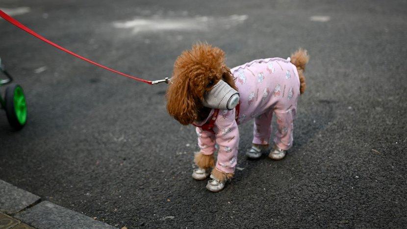 Dog, Medical Detection Dog, Feel Good, Doctor dog, Covid-19, Coronavirus