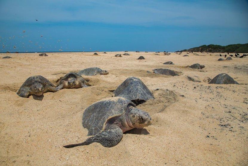 Turtles, Sea Turtles, India, Brazil, Olive Ridley Sea Turtles, Hachlings, Environment, Covid-19, Coronavirus