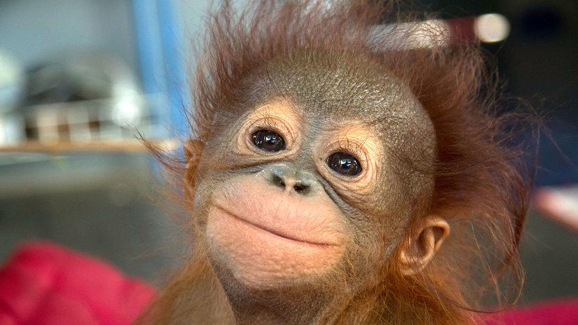 Indonesia, Orangutans