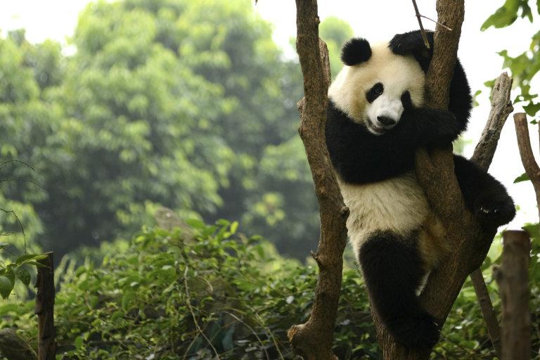 Pandas, Hong Kong, Covid-19, Coronavirus