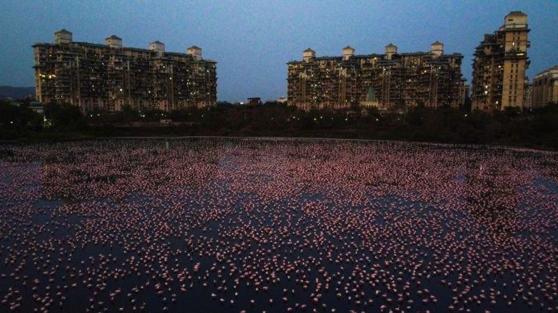 Good news, Coronavirus, Mumbai, India, Covid-19, Flamingos Mumbai