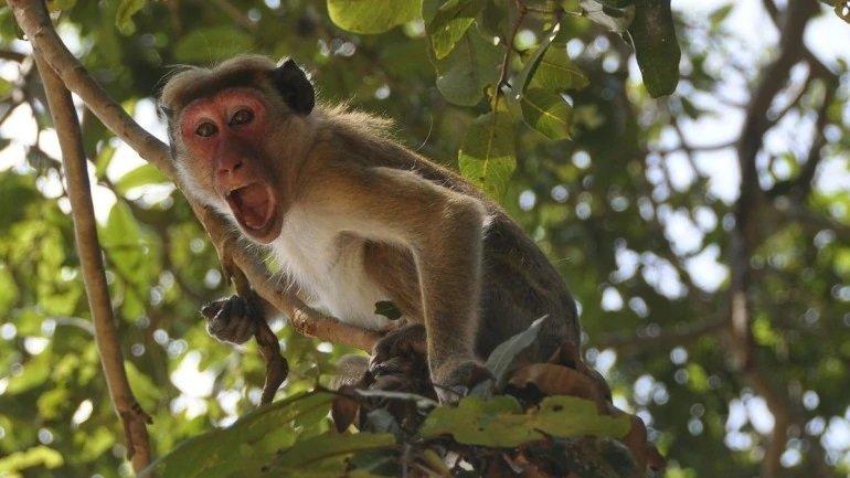 Monkey, India, Covid-19