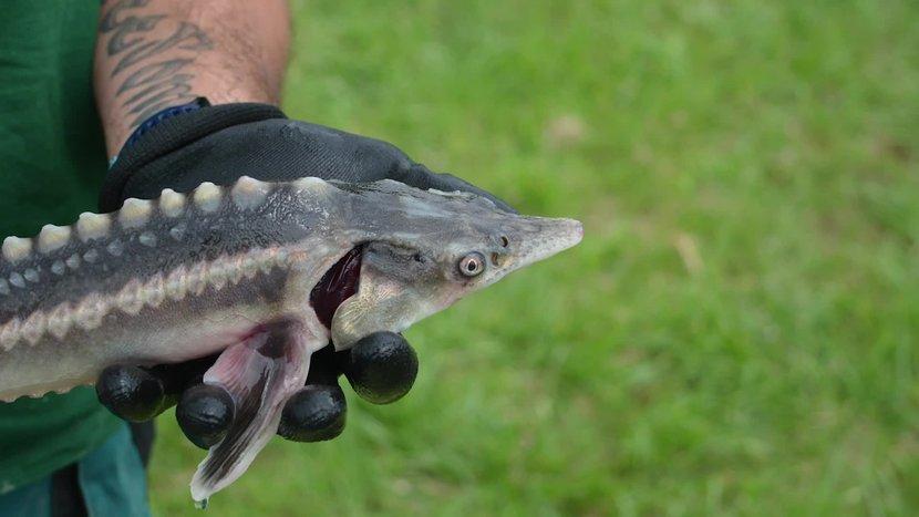 New fish, Genetic modifying, Testing, Sturddlefish, Made in lab
