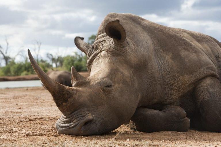 White rhino Ceratotherium simum Royal Hlane national park Swaziland Africa