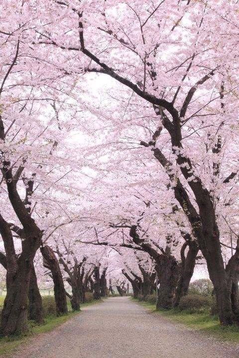 JAPAN IN CHERRY BLOSSOM SEASON - While Japan is beautiful year-round, the few weeks each spring when cherry trees across the country explode with blossoms is a particularly pretty time to visit.