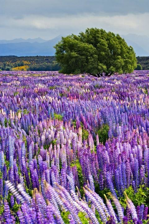 FIORDLAND NATIONAL PARK, NEW ZEALAND - Each year starting in the end of November and peaking in early December, fields of bright purple Russell Lupins bloom across New Zealand's South Island. One of the most beautiful spots to go Lupin-spotting is in Fiordland National Park, home to the equally gorgeous Milford Sound.